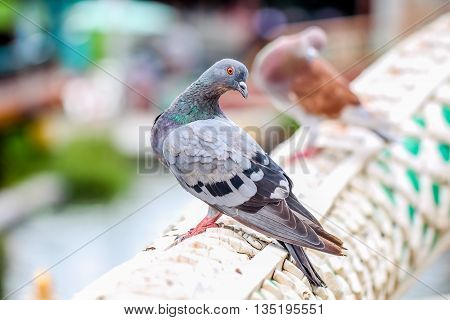 closeup marcro colorful bird pigeon hold on a handrail