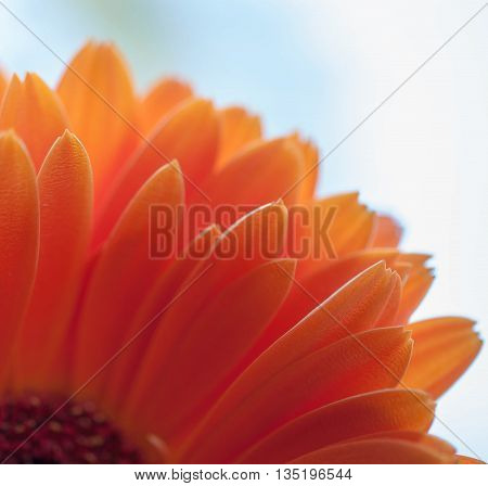 Orange Gerber Daisy up close in macro mode