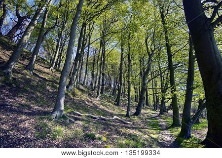 Springtime in a Danish forest - Light green beech leafs all over.