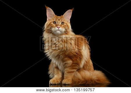 Beautiful Red Maine Coon Cat Sitting with Large Ears and Looking in Camera Isolated on Black Background, Front view