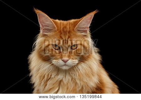 Close-up Portrait of Angry Red Maine Coon Cat Looks in Camera Isolated on Black Background