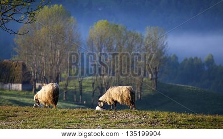 Flock of sheep in the morning fog in the summer mountains