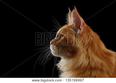 Close-up Portrait of Red Maine Coon Cat in Profile view Isolated on Black Background
