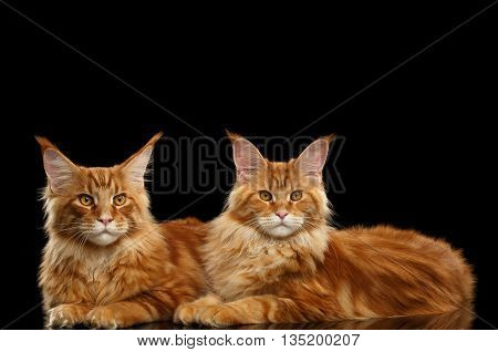 Two Cute Red Maine Coon Cats Lying and Looks in Camera Isolated on Black Background, Side view