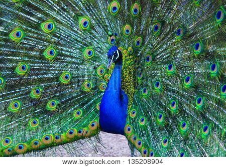 peacock. peafowl. Beautiful spread of a peacock. beautiful peacock bird. A beautiful male peacock with expanded feathers.