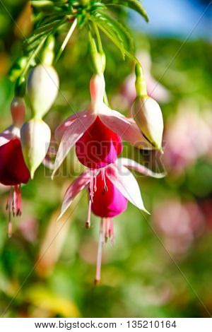 Bleeding Hearts With Pink And White Colors.