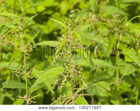 Common or Stinging Nettle Urtica dioica flowers on stem macro selective focus shallow DOF