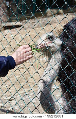 Feeding Of Ostrich In Zoo