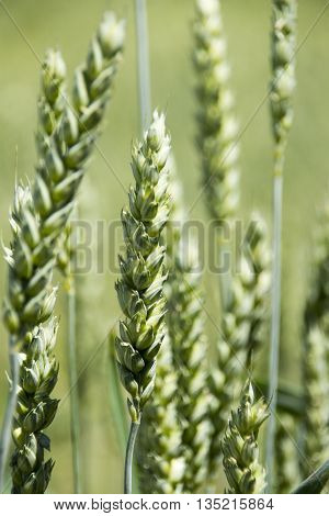 Ear of wheat in green wheat field