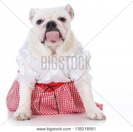 female english bulldog sitting looking at viewer