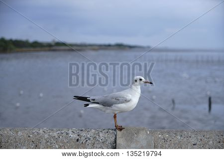 White seagull standing on the bridge ** Note: Shallow depth of field