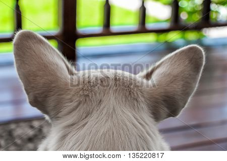 White dog close-up lying on the veranda in the garden