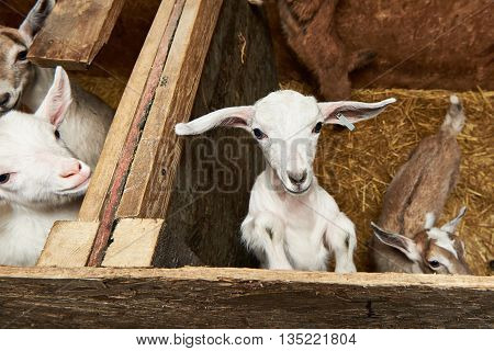 Goat Kids In Corral On A Farm Indoors