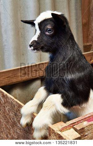 Black Goat Kid In Corral On Farm