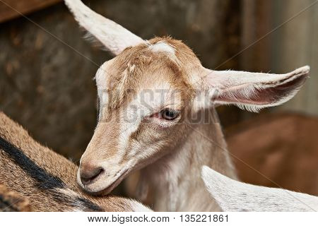 Goat Kid In Corral On Farm