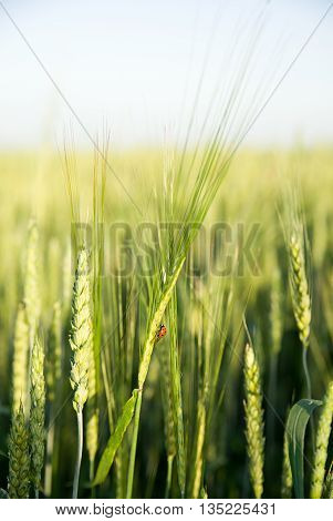 Ear of wheat growing on a farm field