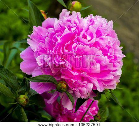 Peonies. peony flowers. sprig of blooming peony flowers. blooming peony flowers.