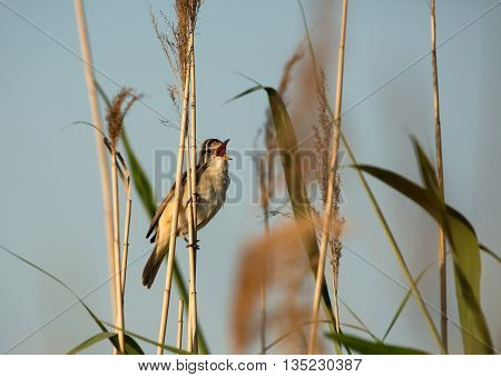 PolandSinging Great reed-warbler (Acrocephalus arundinaceus) sitting on a reed on the banks of a pond in the spring sunny morning. Clearly visible orange inside the beak Horizontal side view