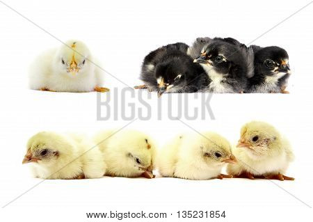 set of little chicks isolated on white background
