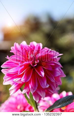A big pink dahlia flower on sunny day