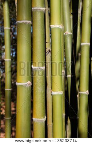 Green bamboo tree in a garden. Green bamboo background.
