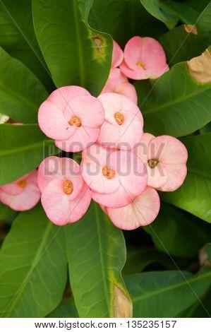 close up pink Euphorbia flower in garden