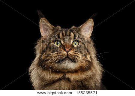 Close-up Portrait of Huge Maine Coon Cat Curious Looking in Camera Isolated on Black Background, Front view