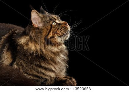 Close-up Portrait of Maine Coon Cat Lying and Looking up Isolated on Black Background, Profile view