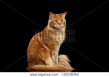 Ginger Maine Coon Cat with Furry Tail Sitting and Curious Looks Isolated on Black Background, Front view