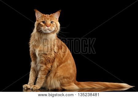 Ginger Maine Coon Cat with Long Tail Sitting and Curious Looking in Camera Isolated on Black Background, Front view