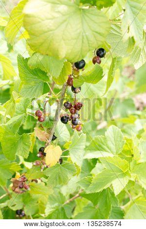 Fresh Black Currant On A Twig