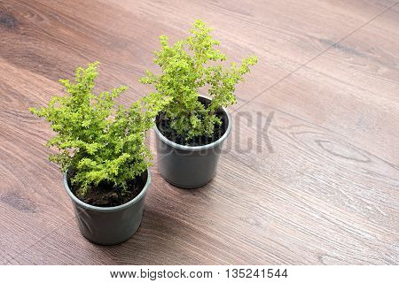Home green plant in plastic pot. Plant in pot on wooden background