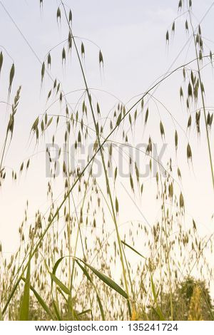 Weed in field of green wheat. Shoot from lower angle