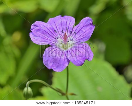 A close up of the wildflower geranium.