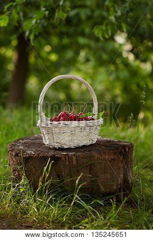 A basket of freshly picked cherries on old tree stump