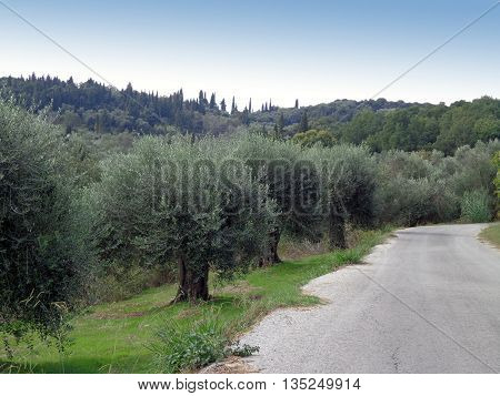 Road on the edge of the olive grove