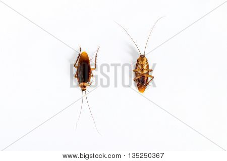 Closeup of cockroach isolated on white background.