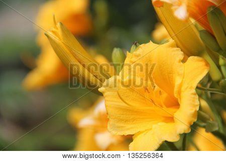 daylilies, perennial, garden, plant, flowers, lemon, yellow,
