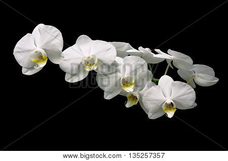 beautiful white orchid branch over black background. horizontal photo.