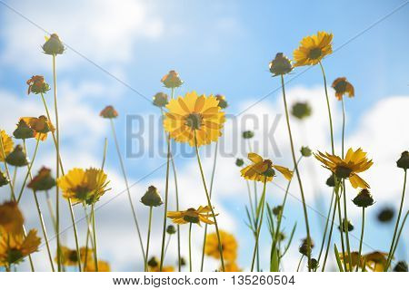 Yellow tickseed flowers on blue sky background