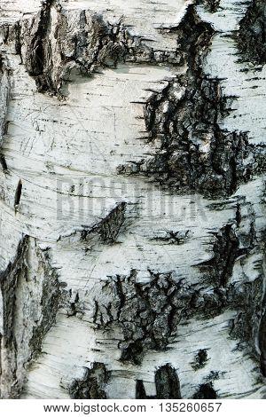 Birch Bark Texture tree nature wood background