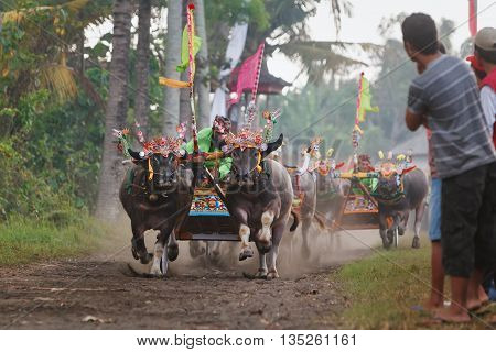 Jembrana Bali island Indonesia - 29 July 2012: Running bulls decorated by barong mask in action on traditional balinese water buffalo race Makepung. Bali people ethnic culture festivals and events