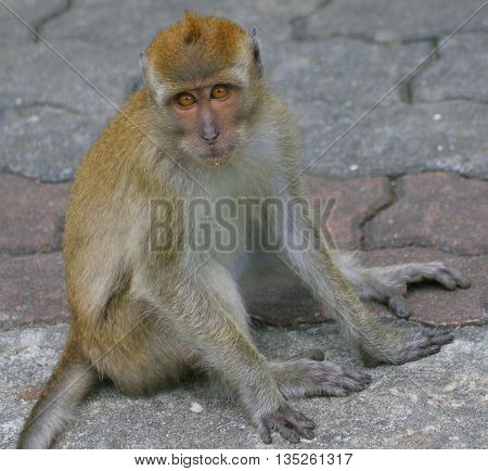 wild female Long-tailed Macaque sitting on paving stones at Tang Kuan Hill lift station, Songkhla, Thaland