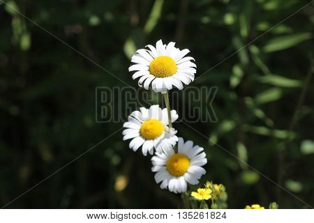 Ox-Eyed Daisy (Chrysanthemum leucanthemum) growing along a gravel roadway