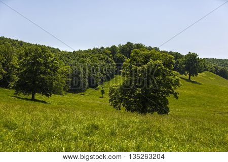 large oak tree on a hill with green grass