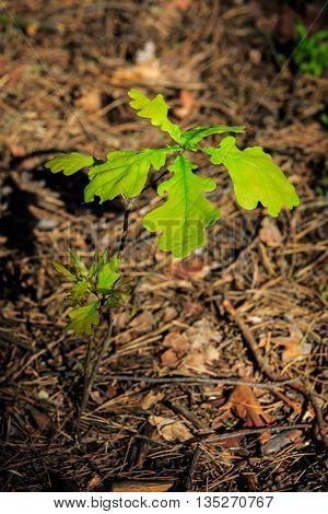 small oak tree in forest