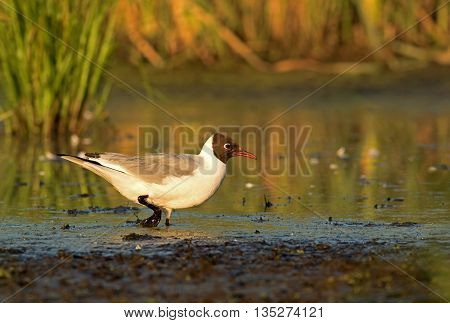 Black-headed Gull (Larus ridibundus) wading in the mud among the grasses and reeds in search of food a beautiful sunny summer morning on the backwaters of the river Poland. Horizontal view.