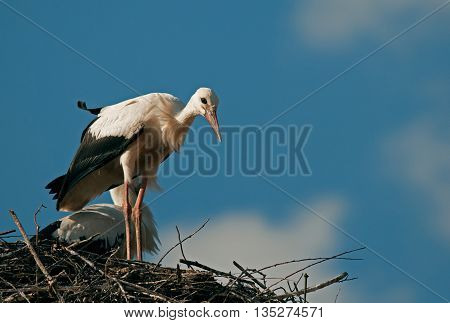 A little curious young white stork (Ciconia ciconia) standing on the edge of the nest built on the roof of the house and getting ready for his first solo flight. Beautiful sunny July day. Horizontal view