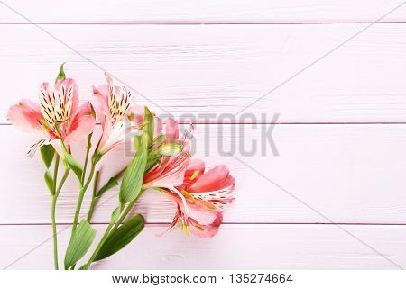 Beautiful Alstroemeria Flowers On A Pink Wooden Table