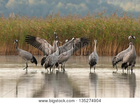 Group of cranes standing in the shallow water of the lake and one of the male spreads wide wings. Autumn collection of cranes in the Bory Tucholskie National Park september. Horizontal.